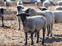 在一个五颜六色的牧场地吃葱的绵羊 免版税库存图片