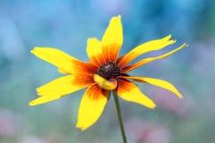 在一个五颜六色的背景特写镜头的一朵黄金菊花 免版税图库摄影