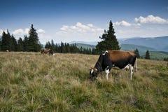 在一个亚高山带草甸的母牛 免版税库存图片