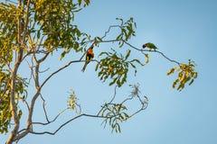 在一个产树胶之树的两只逗人喜爱的彩虹Lorikeet鹦鹉在日落 免版税库存图片