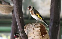 在一个人为嵌套栖息的二goldfinchs 免版税库存图片
