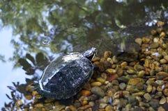 在一个人工湖附近的乌龟 库存图片