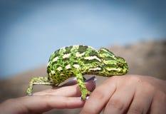 在一个人的手上的变色蜥蜴 免版税图库摄影