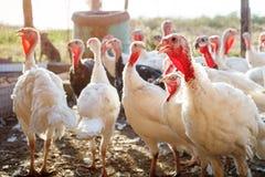 在一个传统家禽场的雄火鸡 免版税库存照片