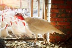 在一个传统家禽场的雄火鸡 免版税库存图片