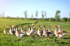 在一个传统家禽场的鹅 农业 库存照片