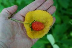 在一个低俗新闻的一个红色草莓在您的手棕榈说谎  免版税库存照片
