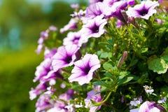 在一个停止的篮子的紫色和桃红色喇叭花在夏天 免版税库存照片