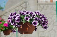 在一个停止的篮子的紫色和桃红色喇叭花 免版税库存图片