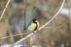 在一个光秃的分支栖息的伟大的山雀 库存图片
