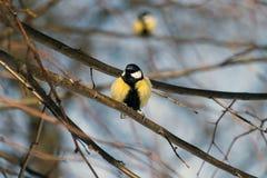 在一个光秃的分支栖息的伟大的山雀 免版税库存照片