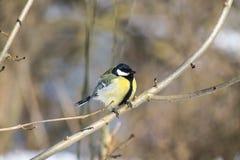 在一个光秃的分支栖息的伟大的山雀 库存照片