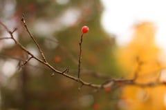 在一个光秃的分支的水多的红色莓果在被弄脏的背景 免版税图库摄影