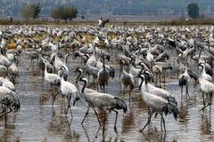 在一个全国鸟类保护区Hula的候鸟位于北以色列 免版税库存照片