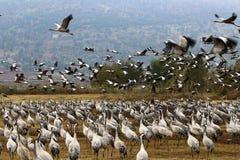 在一个全国鸟类保护区Hula的候鸟位于北以色列 图库摄影