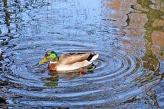 在一个公园,斯旺西,英国低头在湖的游泳 免版税库存照片