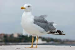 在一个具体码头的一只大海鸥 免版税图库摄影