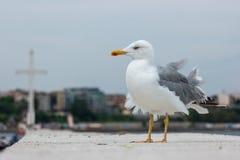 在一个具体码头的一只大海鸥 库存图片