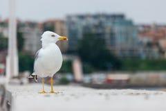 在一个具体码头的一只大海鸥 免版税库存图片