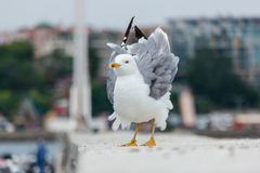 在一个具体码头的一只大海鸥 免版税库存照片
