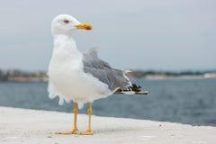 在一个具体码头的一只大海鸥 库存照片