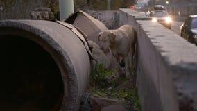 在一个具体管子附近的哀伤的无家可归的狗,都市场面 影视素材