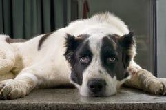 在一个兽医诊所的狗 库存图片