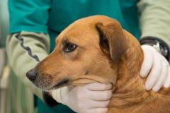 在一个兽医诊所的狗 免版税库存图片