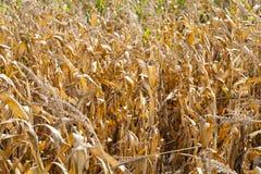 在一个农业领域的玉米 免版税图库摄影