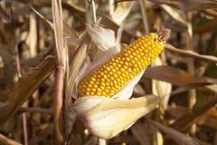 在一个农业领域的玉米 免版税库存照片
