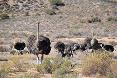 在一个农场在Oudtshoorn,一点南部非洲的干旱台地高原的美丽的大驼鸟,在南非 库存图片