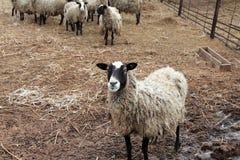 在一个农场的一些只绵羊 免版税库存照片