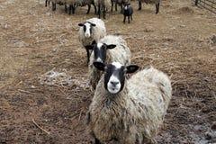 在农场yard1的一些只绵羊 库存照片