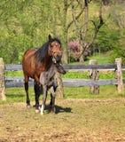 母马和她的马驹 免版税库存图片