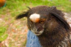 在一个农场的一只宠物猴子ocala的 图库摄影