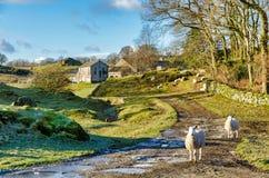 在一个农场的两只绵羊在冬天 图库摄影