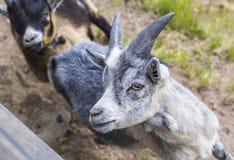 在一个农场的山羊在意大利 库存照片