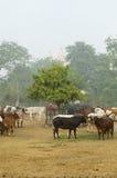 在一个农场的母牛在印度 库存照片