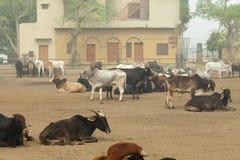 在一个农场的母牛在印度 库存图片