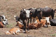 在一个农场的牛牧群在勒斯滕堡,南非附近 免版税图库摄影