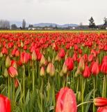 在一个农场的红色和黄色郁金香在Skagit华盛顿 免版税库存照片