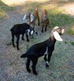 在一个农场的Nubian山羊在佛罗里达 库存图片