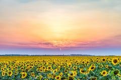 在一个农村平原的日落与向日葵的进展的领域 免版税图库摄影