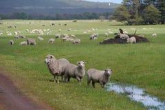 在一个农村澳大利亚风景的绵羊 库存图片