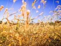在一个农村领域的秋天草 免版税图库摄影