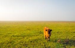 在一个农村风景的幼小高地母牛 库存图片
