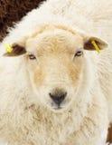 在一个冬日的幼小绵羊/羊羔 免版税库存图片