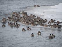 在一个冰冷的河岸的冬天加拿大鹅 免版税库存图片