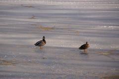 在一个冰冷的湖的鸭子 库存图片