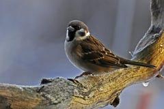 在一个冷淡的分支的树麻雀在早晨太阳 免版税库存图片